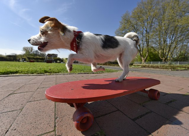 Film dog Jo Jo performs on a skateboard at a presentation for the dog and cat show in Dortmund, Germany, Tuesday, April 28, 2015. (Photo by Martin Meissner/AP Photo)