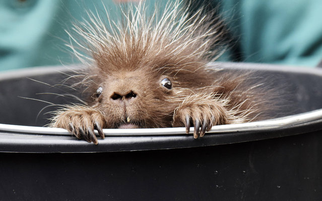 The New World porcupine, family Erethizontidae, 1280 Gram born at 11 April 2015 Inventory in Zoo. Counting trade Fairs Weighing the Zoo is at 7 May 2015 too the 108 Birthday Zoo Hagenbeck Hamburg, Germany. (Photo by Imago/ZUMA Wire)