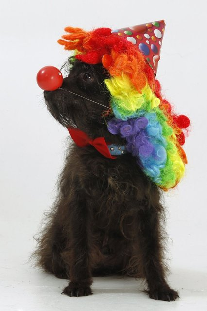 Doodles the Jackadoodle, who has won best in show in dog shows, wearing his clown fancy dress outfit. (Photo by Helen Yates/Barcroft Media)