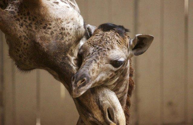 This Monday, March 28, 2016 photo provided by the Santa Barbara Zoo shows a newborn baby giraffe and its mother, Audrey, in Santa Barbara, Calif. The unnamed Masai giraffe was born Saturday, March 26. (Photo by Santa Barbara Zoo/www.sbzoo.org via AP Photo)