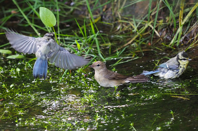 A nightingale shares the water with blue tits at the Nipponzan Myohoji Buddhist temple in Milton Keynes, England. The WWF and iNaturalist are launching Seek, an app designed to encourage get children outside and discovering local biodiversity. The launch comes at a time where more than 1m plant and animal species are at risk of extinction, according to a UN report. (Photo by Tony Margiocchi/Barcroft Media)