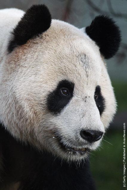 Yang Guang, a male panda