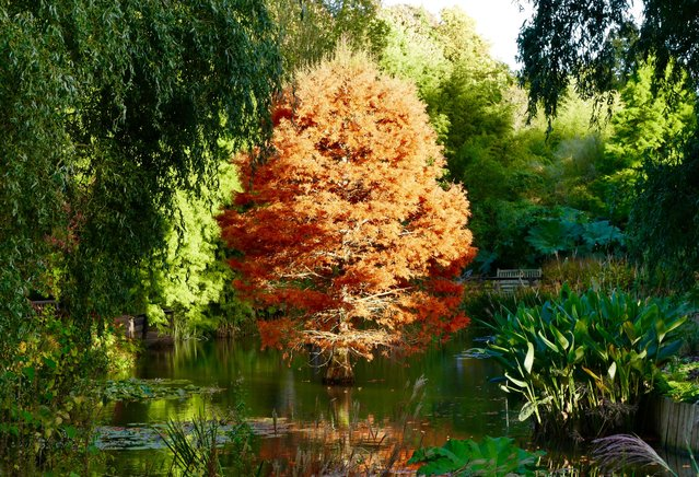 Autumn colours on show at the Sir Harold Hillier Gardens in Romsey, Hampshire on October 20, 2016. (Photo by Geoffrey Swaine/Rex Features/Shutterstock)