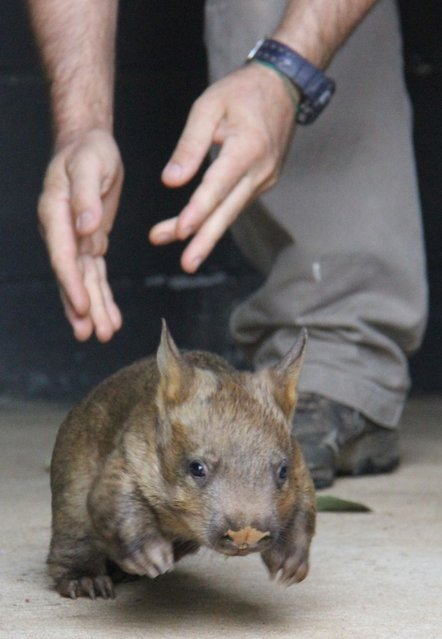 """This handout photo taken on April 29, 2014 from Taronga Conservation Society Australia shows zoo keeper Brett Finlayson playing with eight month old southern hairy-nosed wombat named """"Sydney"""" at Taronga Zoo in Sydney. (Photo by Paul Fahy/AFP Photo/Taronga Conservation Society Australia)"""
