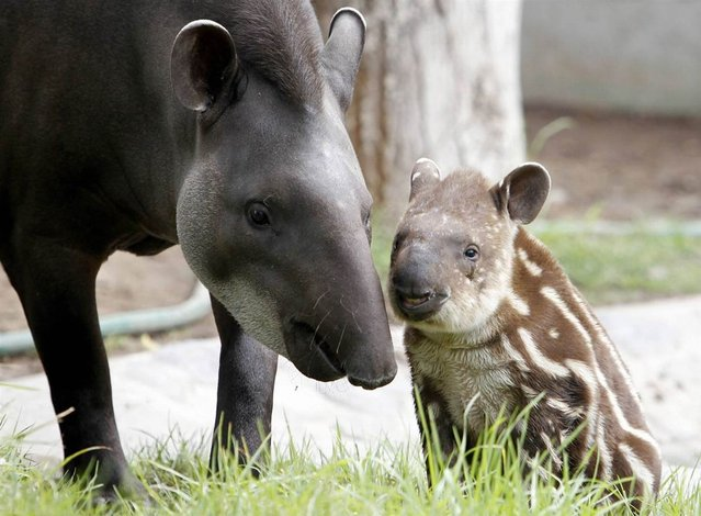 Dominga, a 14-year-old tapir, stands next to her one-month-old calf Bala at Parque de Las Leyendas Zoo in Lima on May 10, 2012