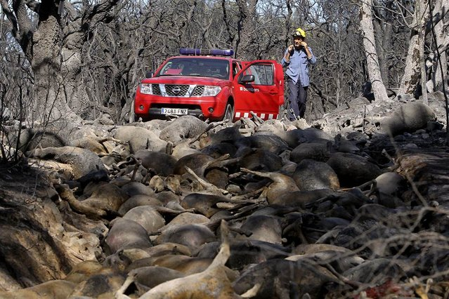 A firefighter looks at dead sheep after a forest fire near Darnius, in the northern Spanish province of Girona, July 23, 2012. (Photo by Jordi Ribot/Reuters)