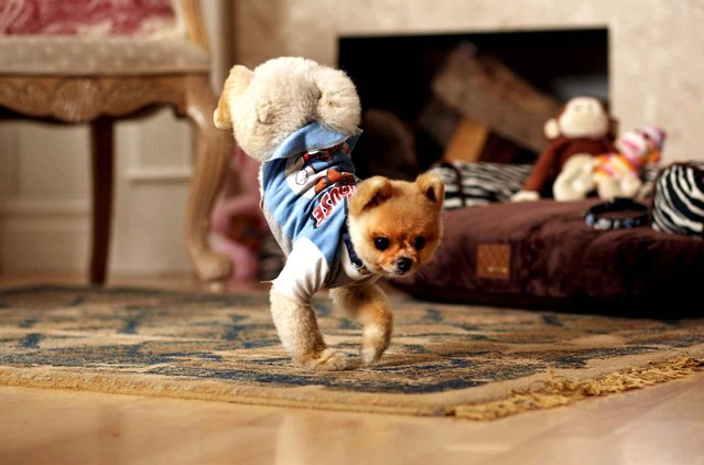 Jiff, a Pomeranian from Los Angeles, has earned his place in the 60th anniversary edition of the Guinness World Records book. Guinness World Records announced that Jiff has set world records for the fastest running on two back legs and on two front legs. Jiff can run 10 meters on his hind legs in 6.56 seconds, and 5 meters on his front paws in 7.76 seconds. (Photo by Kevin Scott Ramos/AP Photo/SIPA Press)
