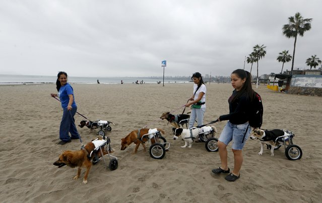 Sara Moran (C) and dog shelter volunteers walk six paraplegic dogs in wheelchairs at Pescadores beach in Chorrillos, Lima, September 7, 2015. (Photo by Mariana Bazo/Reuters)
