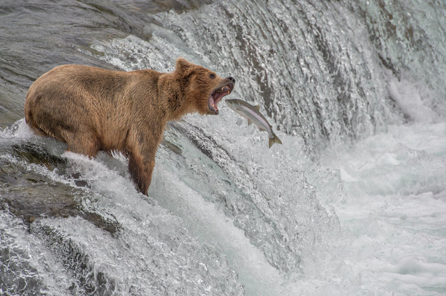 """Catch of the Decade"". Can you guess what happened next? Photo location: Katmai National Park, Alaska, USA. (Photo and caption by Aaron Baggenstos/National Geographic Photo Contest)"