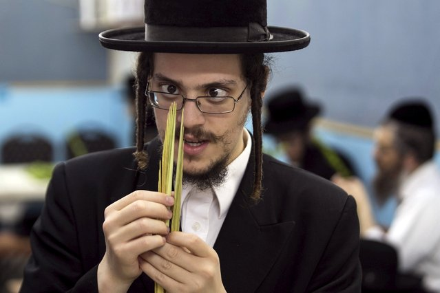 An ultra-Orthodox Jewish man inspects a palm frond for blemishes during preparations for the upcoming Jewish holiday of Sukkot in Bnei Brak, near Tel Aviv, Israel September 24, 2015. Myrtle, palm frond and etrogs are used in rituals during Sukkot, which begins at sundown on Sunday. (Photo by Baz Ratner/Reuters)