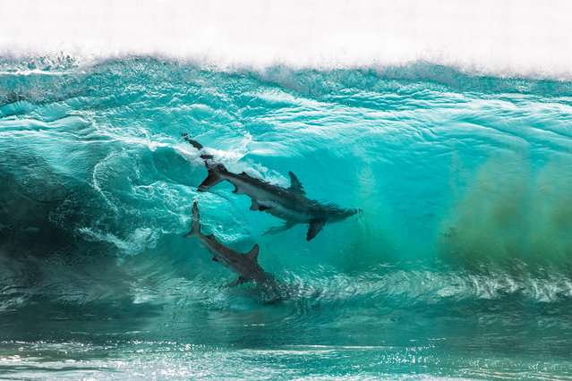 Two copper sharks ride the waves in Red Bluff Beach, Australia on July, 2020. Professional photographer Sean Scott, 43, from Burleigh Heads, Australia, caught the stunning snap. (Photo by Sean Scott/MediaDrumImages/@seanscottphotography)