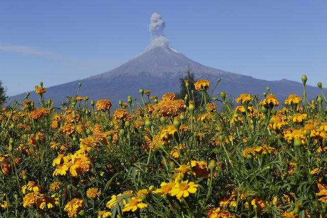 A field of Cempasuchil Marigolds to be used during Mexico's Day of the Dead celebrations, is seen in San Pedro Cholula, in the Mexican state of Puebla October 29, 2014. The orange flowers, also known as Flowers of the Dead, are placed on altars in honour of the deceased and decorate graves on the Day of the Dead, which is celebrated on November 1 and 2 in Mexico. The Popocatepetl volcano is seen in the background. (Photo by Imelda Medina/Reuters)