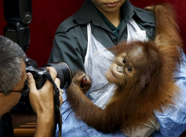 A baby orangutan is photographed at a news conference in Kuala Lumpur, Malayasia, October 19, 2015. The Malaysian wildlife department in July seized two baby Sumatran orangutans, found in duffel bags, from traffickers who were attempting to sell them to buyers in Malaysia. According to local media, the orangutans will be returned to Medan, Indonesia on Tuesday. (Photo by Olivia Harris/Reuters)