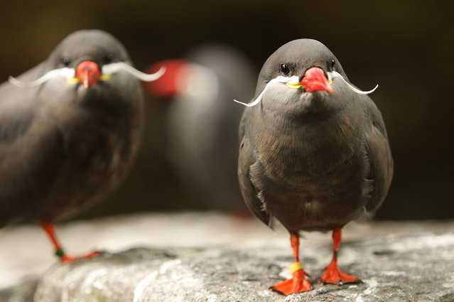 Beard Bird Inca Tern