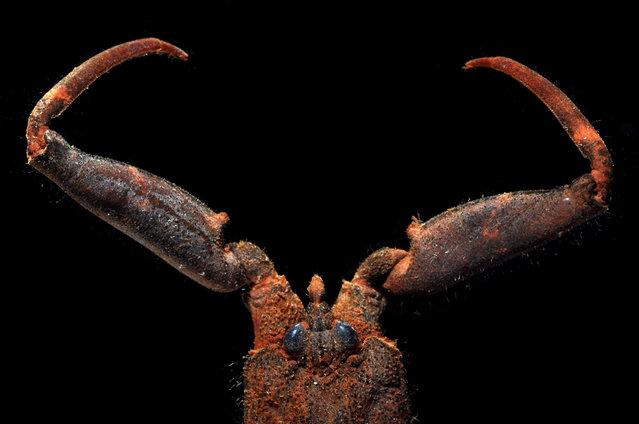 Mangrove water scorpion (SF Nepinae); Straits of Johore, October 2012. (Arthur Anker)