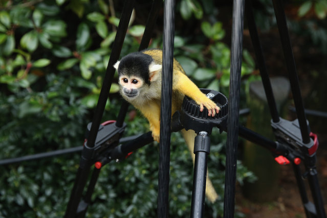 A Bolivian Squirrel Monkey sits on a cameramans tripod during the ZSL London Zoo's annual stocktake of animals on January 5, 2015 in London, England. (Photo by Dan Kitwood/Getty Images)