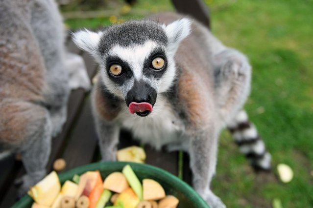 Lemurs in captivity usually only live into their early twenties. (Photo by Hemedia/Swns Group)