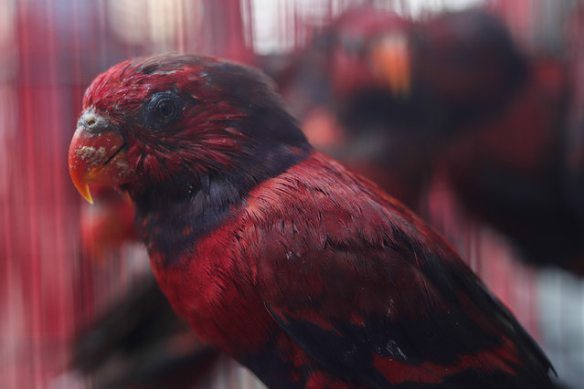 Surabaya Center for Agricultural Quarantine shows hundreds of smuggled birds and turtles during a press conference in Sidoarjo, East Java, on March 2, 2021. The authorities arrested five suspected animal smugglers and seized various animals including three hundred and thirteen birds of starlings, six cockatoo parrots, ten Sulawesi black dove, nineteen parrot Tanimbar and two hundred and eight-five turtles. (Photo by Suryanto/Anadolu Agency via Getty Images)