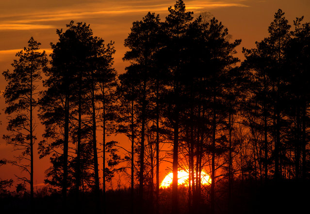 Trees silhouetted during sunset near the town of Berezino, Belarus March 19, 2018. (Photo by Vasily Fedosenko/Reuters)