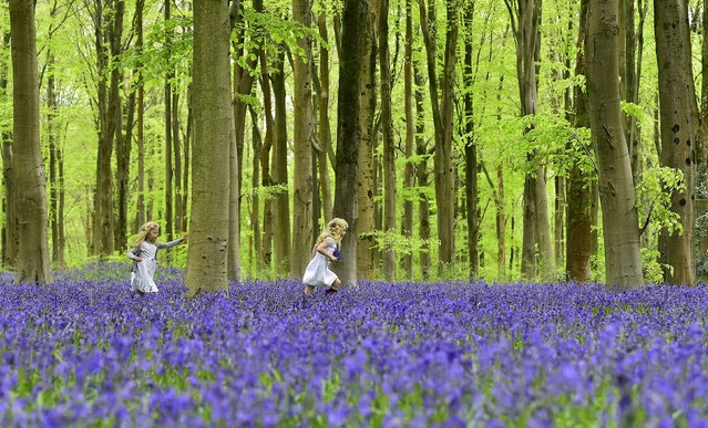 Local girls Bella (L) and Daisy run through a forest covered in bluebells near Marlborough in southern England, May 4, 2015. (Photo by Toby Melville/Reuters)