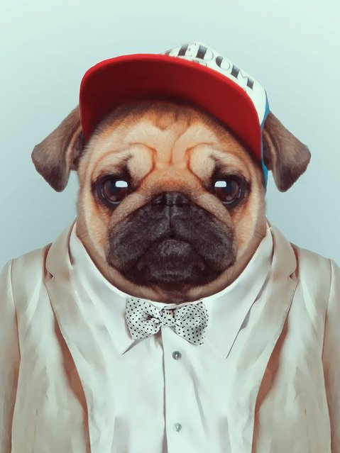 Pug in cap and smart suit. (Photo by Yago Partal/Barcroft Media)