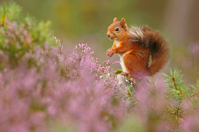 British seasons winner: Seasonal Scottish Red Squirrels (Red Squirrel), Rothiemurchus Forest, Highland. One of four images. (Photo by Neil Mcintyre/British Wildlife Photography Awards)