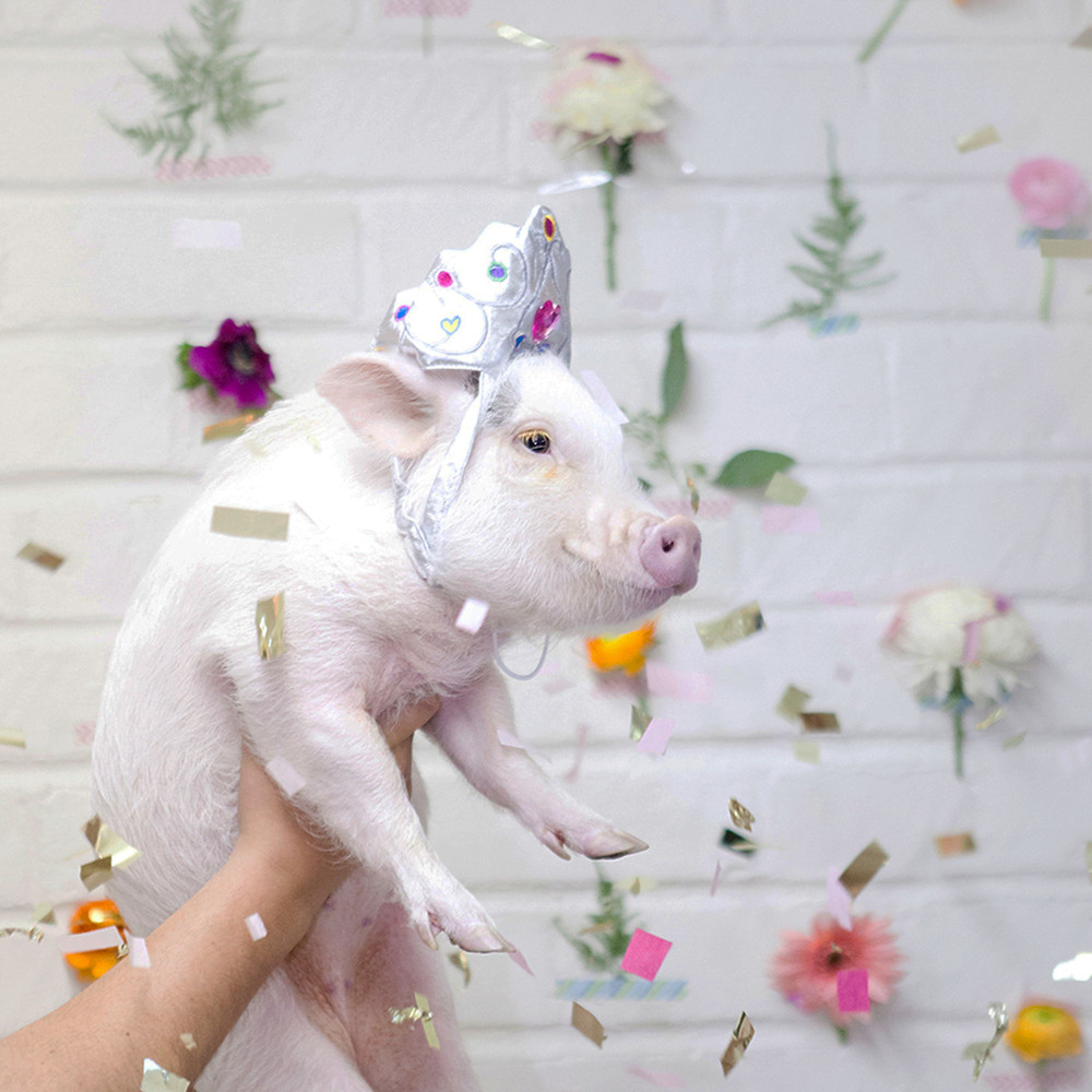 Micropig at Birthday Party