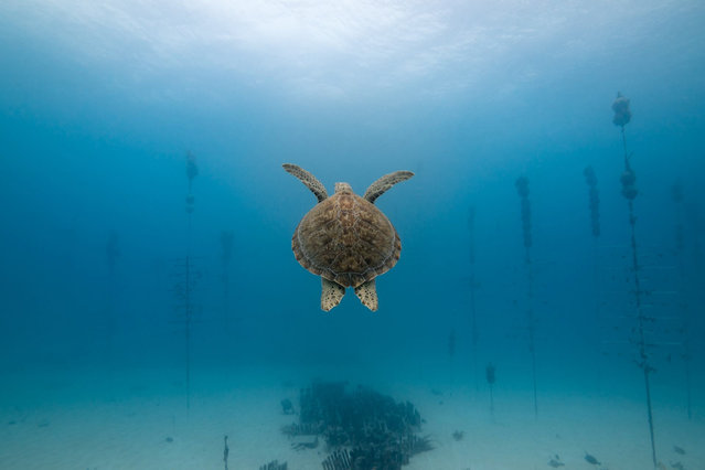 A green sea turtle swims through a coral nursery in Florida, where scientists at the Coral Restoration Foundation are attempting to save reefs by growing corals that can then be replanted. (Photo by Alexander Neufeld/Coral Restoration Foundation)