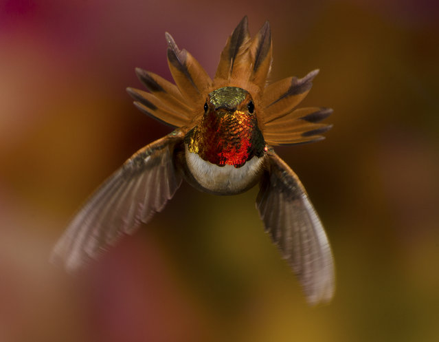 """I'm In Charge!"" While photographing hummingbirds in British Columbia I shot this male Rufous just as he fanned out to show his authority when another male Rufous appeared over my head. Photo location: Cranbrook, British Columbia. (Photo and caption by Scott Bechtel/National Geographic Photo Contest)"