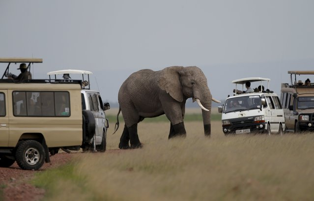 An elephant walks  in front of tourists in Amboseli in National park, Kenya, February 10, 2016. (Photo by Goran Tomasevic/Reuters)