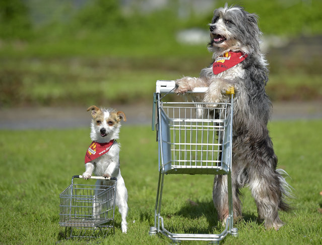 Film dogs Tom Tom, right, and Jo Jo perform with shopping carts at a presentation for the dog and cat show in Dortmund, Germany, Tuesday, April 28, 2015. (Photo by Martin Meissner/AP Photo)