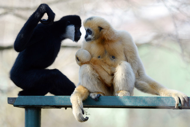 Northern White-cheeked Gibbon, Nomascus leucogenys leucogenys, female with its baby (left) are pictured in their enclosure in Pilsen zoo, Czech Republic, March 31, 2016. (Photo by Pavel Nemecek/CTK via ZUMA Press)