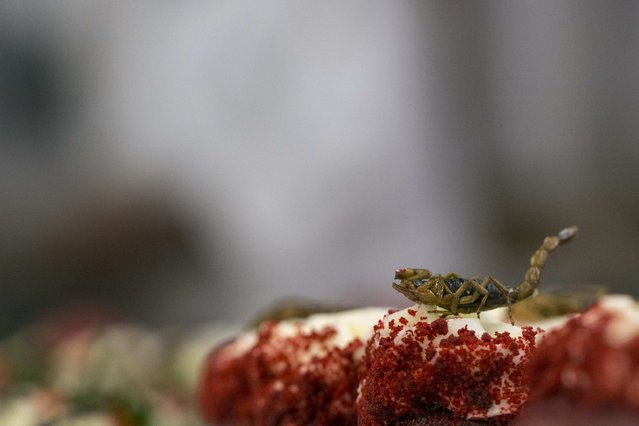 A scorpion sits on a cupcake in the kitchen before the 110th Explorers Club Annual Dinner at the Waldorf Astoria in New York March 15, 2014. (Photo by Andrew Kelly/Reuters)