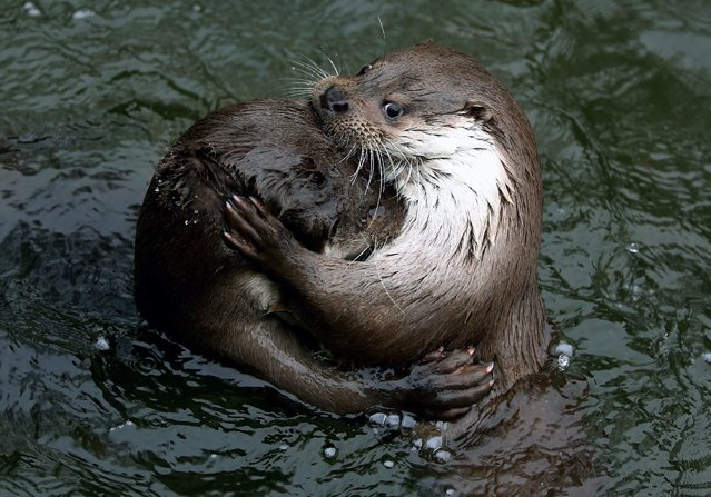 Two European Otters (lutra lutra) swim in the Warsaw's zoo, in Warsaw, Poland, 24 March 2014. (Photo by Tomasz Gzell/EPA)