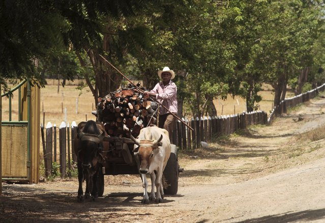 A man transport  logs on his bull-cart to make charcoal at La Campanera village, Nicartagua, May 22, 2015. Around 300 families live off the sale of charcoal in this area located in the dry corridor of Nicaragua. Friday marks World Environment Day. Picture taken May 22, 2015. REUTERS/Oswaldo Rivas