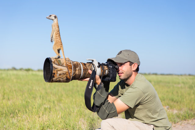 Will Burrard-Lucas takes a photo while a Meerkat perches on his lens on January 2014 in Makgadikgadi, Botswana. These adorable Meerkats used a photographer as a look out post before trying their hand at taking pictures. The beautiful images were caught by wildlife photographer Will Burrard-Lucas after he spent six days with the quirky new families in the Makgadikgadi region of Botswana. Will has photographed Meerkats in the past and was delighted when he realised he would be shooting new arrivals. (Photo by Will Burrard-Lucas/Barcroft Media)