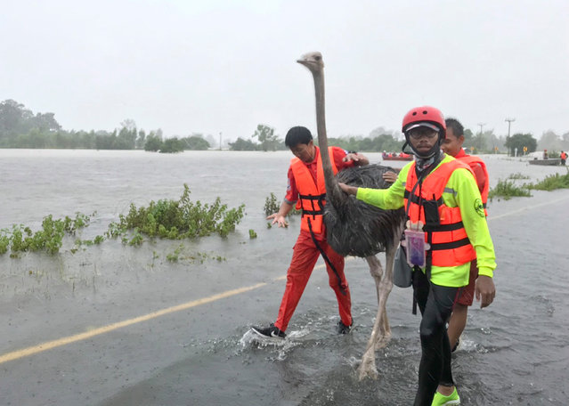 A handout photo made available by the Hook31 Yasothorn Rescue Volunteer shows Thai rescue workers helping an ostrich from a flooded area at Kham Khuean Kaeo District of Yasothon Province, northern Thailand, 03 September 2019. Floods triggered by tropical storm Podul caused damage in several provinces in Northern and Northeastern regions of the country affecting thousands of people. (Photo by EPA/EFE/Hook31 Yasothorn Rescue)