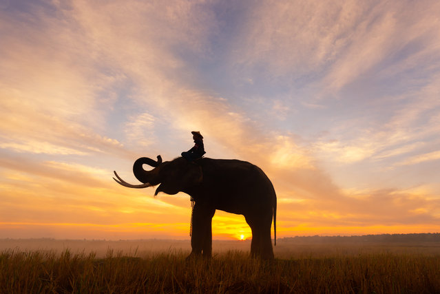 """These eye-catching photographs capture the special relationship between a group of farmers and elephants – with a gorgeous sunset in the background. Vithun Khamsong, a civil engineer, shot the images earlier this year while visiting Surin, Thailand. Khamsong said: """"My favorite is the one where the sunset can be seen behind the man and the elephant. I was impressed and wanted to capture this lifestyle for other people see it"""". (Photo by Vithun Khamsong/Caters News Agency)"""