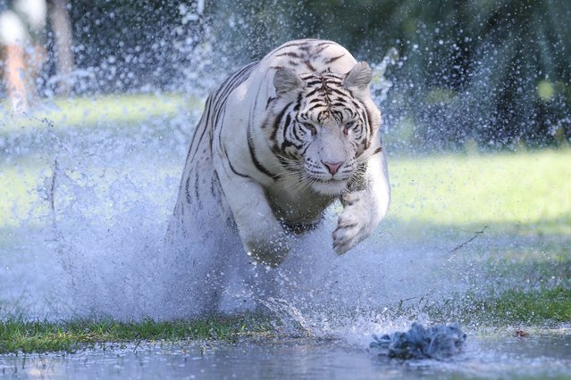 Now here's a terrifying game of cat and mouse! Charging up to 40mph in just three strides these Bengal tigers make a petrifying splash on the saturated earth. (Photo by Splash News)
