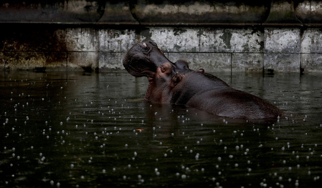 In this May 12, 2017 photo, Guille, the hippopotamus, wades in a pool of water in her enclosure at the former city zoo now known as Eco Parque, in Buenos Aires, Argentina. Developers last July promised to relocate most of the zoo's animals to sanctuaries in Argentina and abroad, but they had made no firm arrangements to do so. (Photo by Natacha Pisarenko/AP Photo)