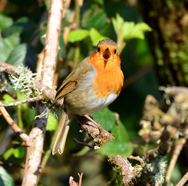 A robin sings to defend its territory in a mixed deciduous woodland alongside the River Teifi near Cilgerran, Wales. (Photo by John Gilbey/The Guardian)