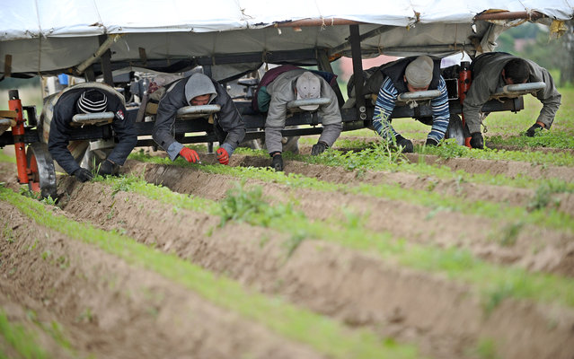 Seasonal workers from Russia weed an organic carrot field by hand in Calden, Kassel, Germany, 16 June 2014.  (Photo by Uwe Zucchi/EPA)