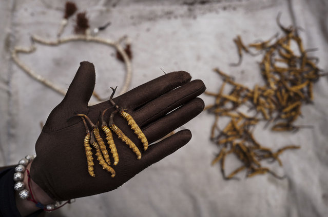 A Tibetan woman displays high quality cordycep fungus on May 18, 2016 at a market in Yushu on the Tibetan Plateau in the Yushu Tibetan Autonomous Prefecture of Qinghai province. (Photo by Kevin Frayer/Getty Images)