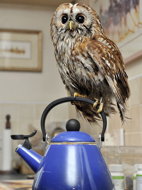 Bertie Agoraphobic Owl