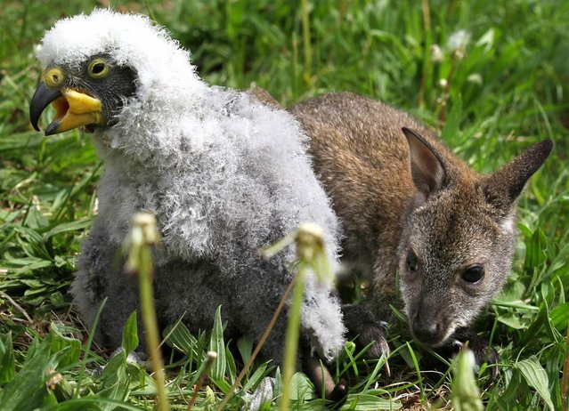 A 3-month-old kangaroo named Anabelle and a young kea wander around at the zoo in Marlow, Germany on May 10, 2012