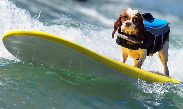 A dog rides a wave while competing during the 5th Annual Surf Dog competition at Huntington Beach, California, on September 29, 2013. (Photo by Frederic J. Brown/AFP Photo)
