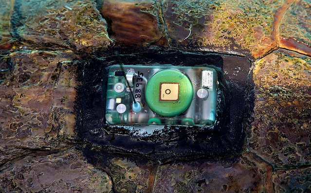 A Wildlife Computers GPS tag is affixed to Kahuna's carapace