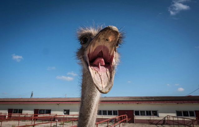 An ostrich reacts inside an enclosure at an ostrich farm near the town of Chekhov, some 75km south of Moscow, on September 23, 2017. (Photo by Yuri Kadobnov/AFP Photo)