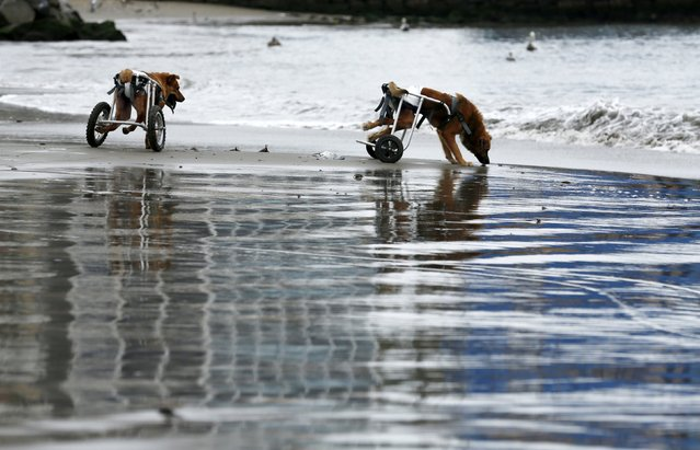 Pelusa and Huellas, paraplegic dogs in wheelchairs, walk at Pescadores beach in Chorrillos, Lima, September 7, 2015. (Photo by Mariana Bazo/Reuters)