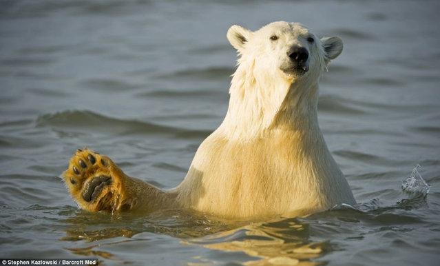 Polar Bear Photo Steven Kazlowski